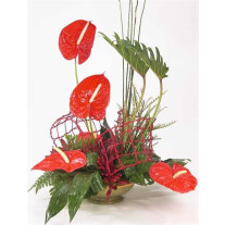 Red Anthurium ARR